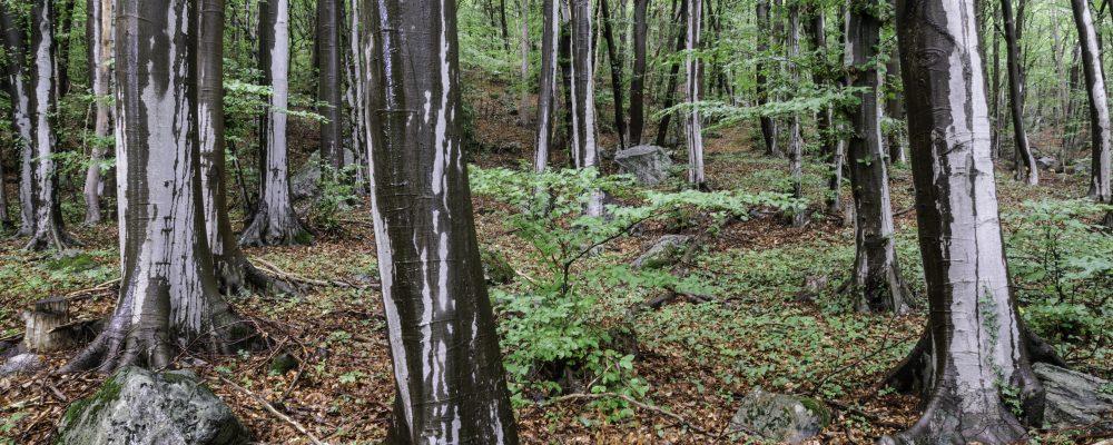 Buchenwald in der Nähe von Martigny.
